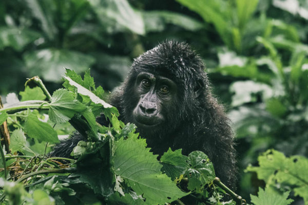 The Pearl of Africa shimmers with life and biodiversity in its variety of landscapes and the great apes and other wildlife that inhabit it.